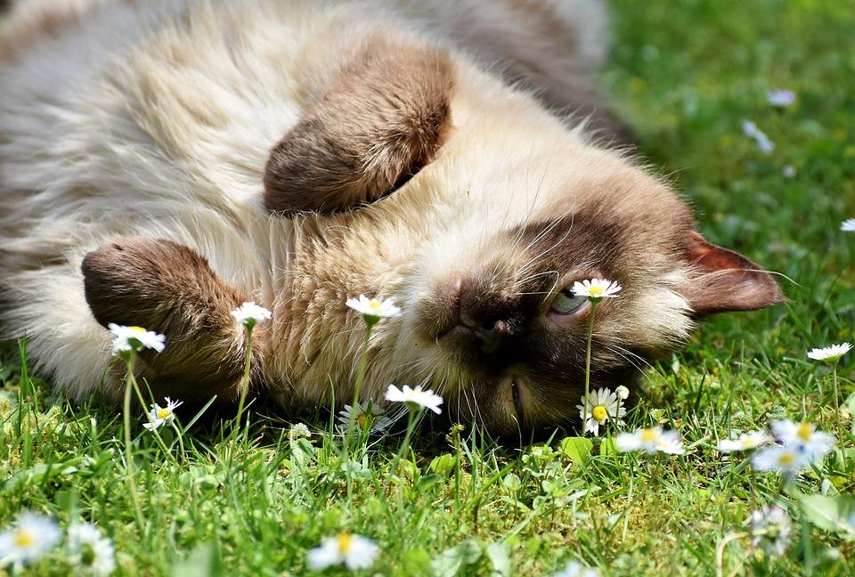 Kot Rasa Brytyjski Krótkowłosy Darmowe Zdjęcie Na Pixabay
