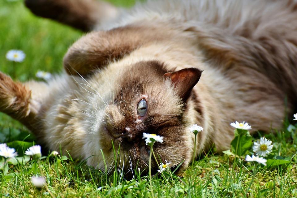 Katt, Ras Katt, Brittiskt Korthår, Mieze