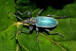 żuk, owad, makro