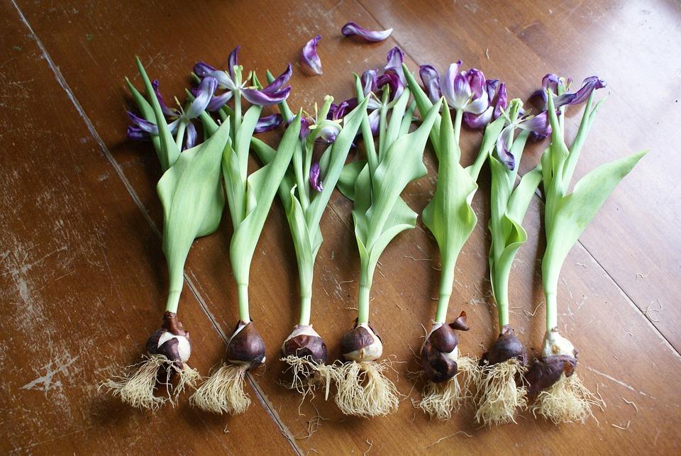 Lampada Fiore Tulipano : Primavera tulipano lampadina · foto gratis su pixabay