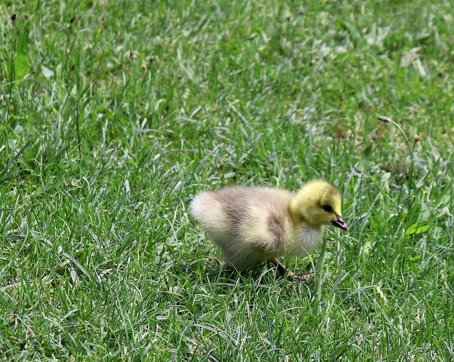 """Kycklingar, Djur, Natur, GÃ¥s, Gräs, ÃÂ""""ng, Ludd"""