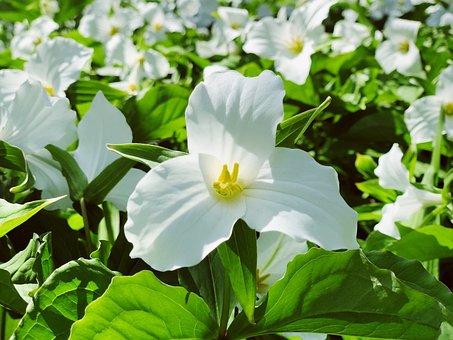 40 Free Trillium Nature Images Pixabay