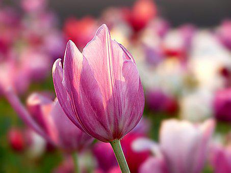 Pink flowers images pixabay download free pictures nature plant flower tulip color pink mightylinksfo Gallery