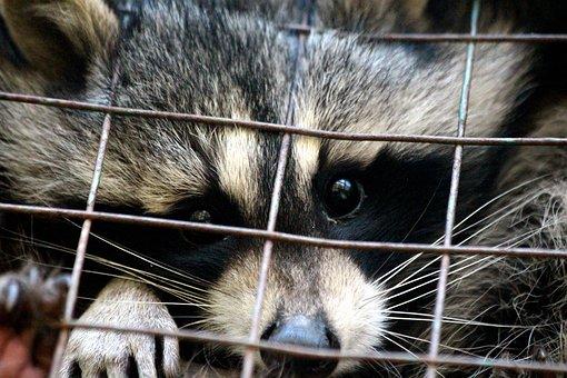 Raccoon, Procyon Lotor, Raccoon Gargle