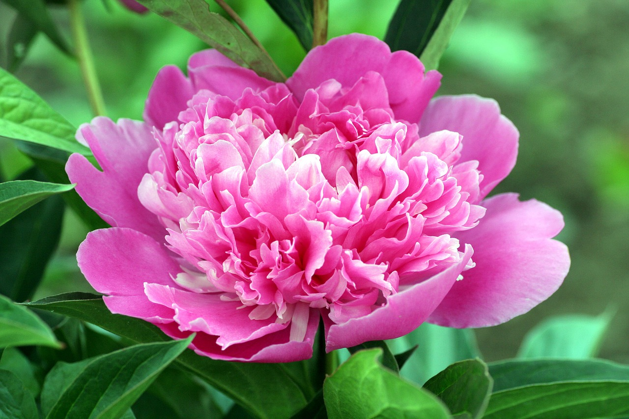 a beautiful pink peony flower