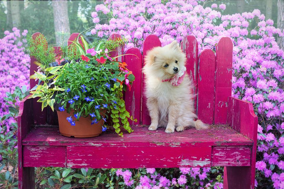 Simple Pomeranian Canine Adorable Dog - dog-3415990_960_720  You Should Have_861486  .jpg
