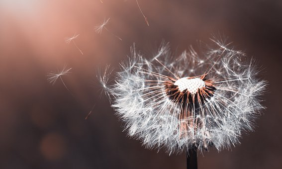 Dandelion Images Pixabay Download Free Pictures