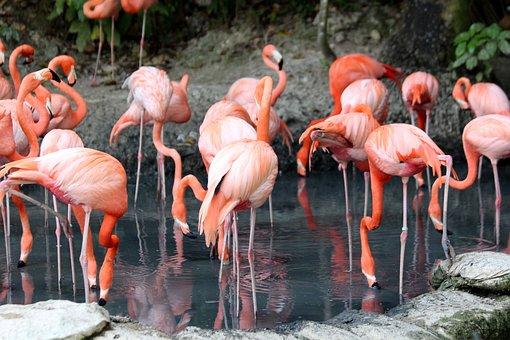 Flamingo, Phoenicopterus Roseus, Nature