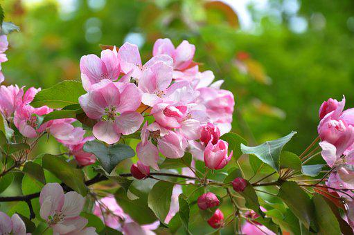 Flowering trees images pixabay download free pictures spring flowers flowering tree tree mightylinksfo Image collections