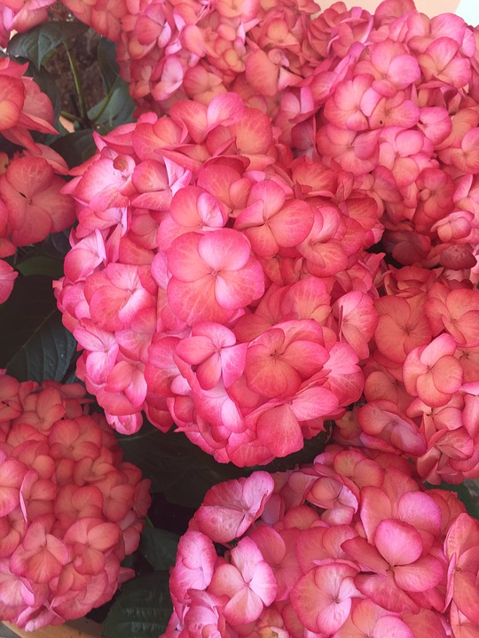 Hydrangeas Flowers Hydrangea Free Photo On Pixabay
