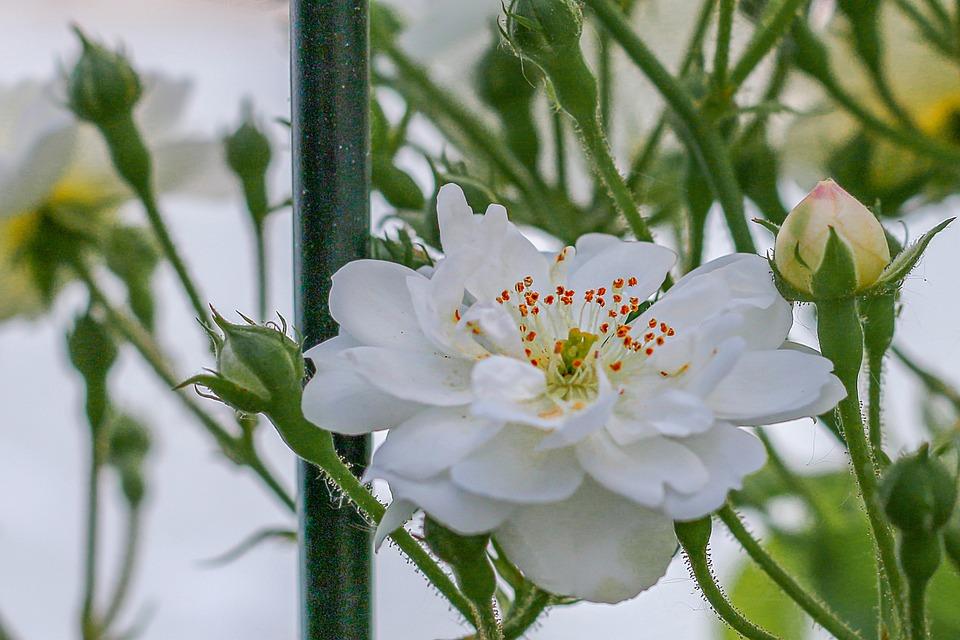 Rose white flowers free photo on pixabay rose white rose flowers fragrance flower garden mightylinksfo