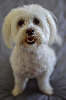Maltese Poodle, Dog, Poodle, Animal, Pet