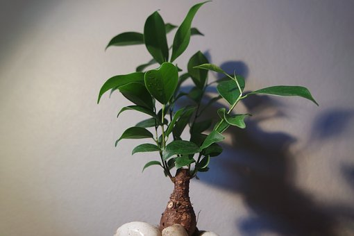 Bonsai, Tree, Indoor, Plant, Small
