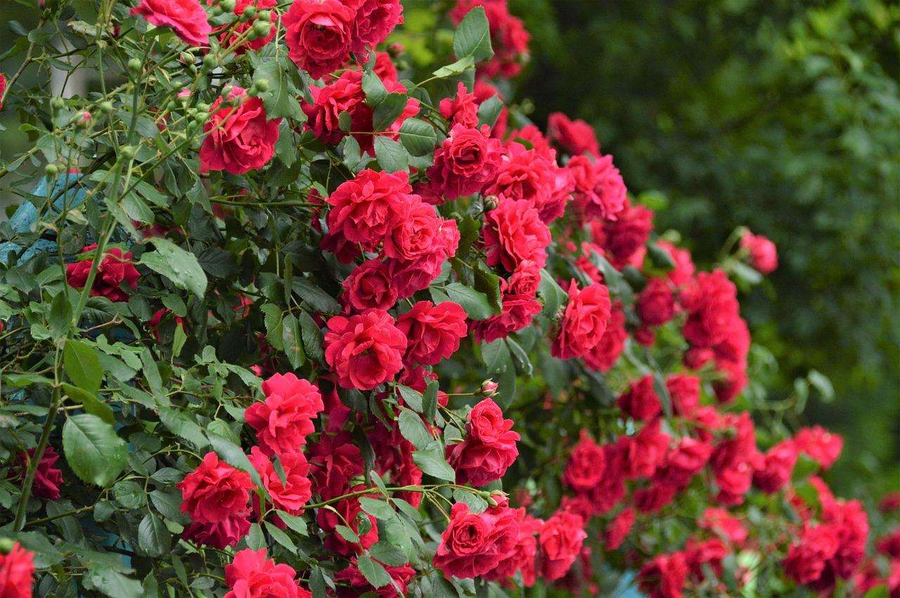 Rose Flowers Beautiful Free Photo On Pixabay