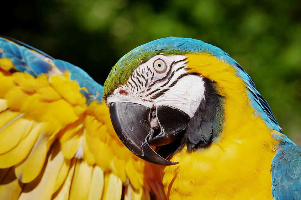 Parrot Best Bird For Pet