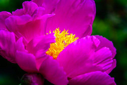 Pink flowers images pixabay download free pictures flower peony blossom bloom spring mightylinksfo Gallery