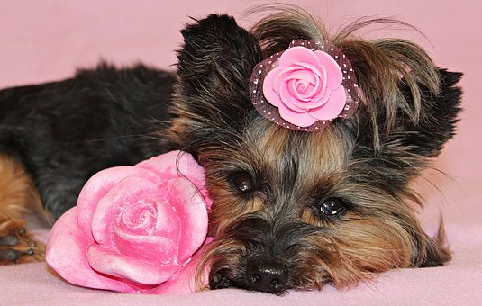 Yorkshire Terrier, Dog, Pretty, Nice