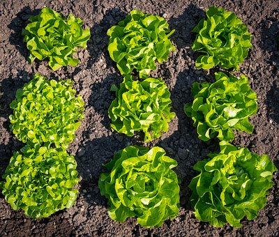 Salad, Lettuce, Spring, Bed, Healthy