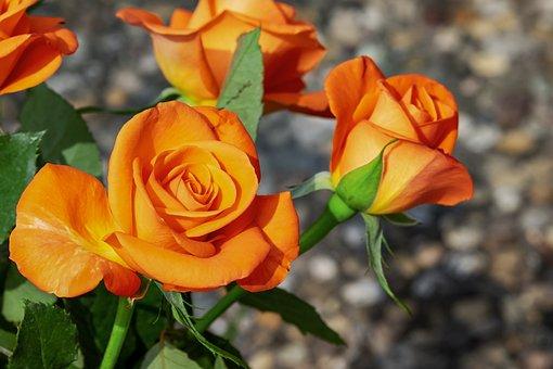 20000 Kostenlose Rosen Und Rose Bilder Pixabay