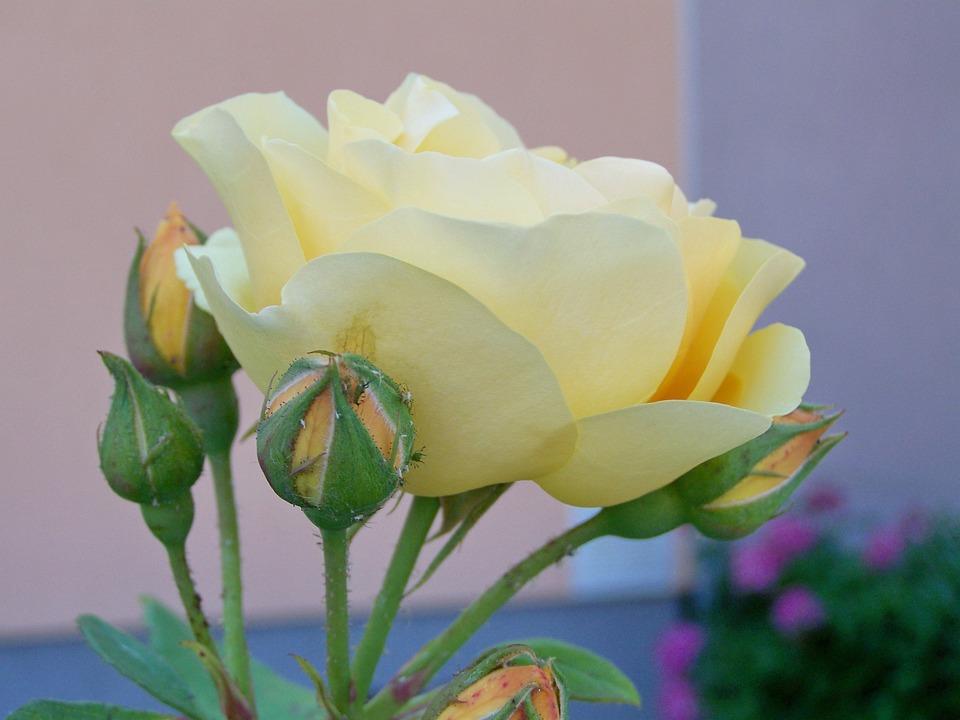 Tea Rose Vaniglia Colore Fiore Di - Foto gratis su Pixabay