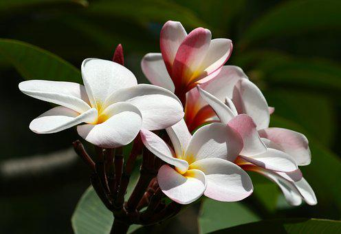 Exotic flower images pixabay download free pictures plumeria flower hawaii tropical mightylinksfo Image collections