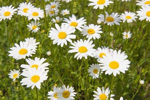 Daisy, Summer, Meadow, Wildflowers