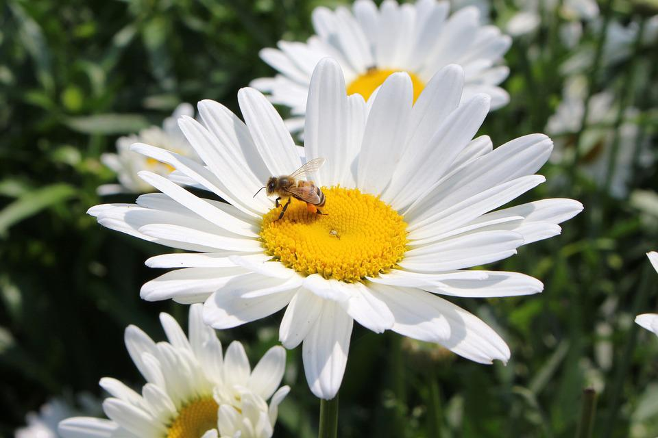 Sweet Fleur Marguerite Photo Gratuite Sur Pixabay