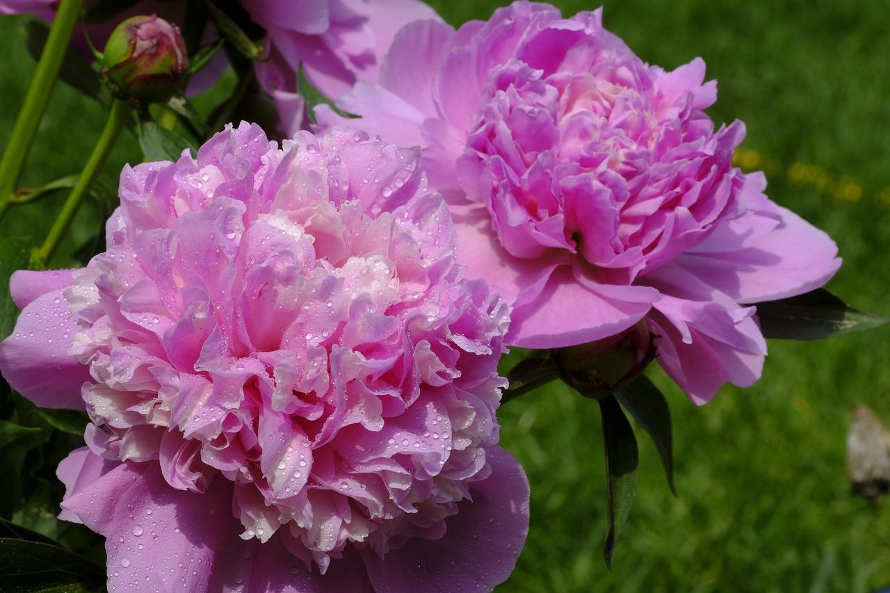 напрямую авторов, фото пионы розовые в росе кольца пальцах ног