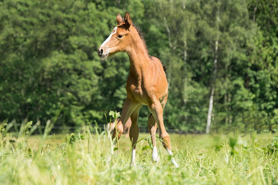 Foal, Young, Small, Sweet, Animal, Horse, Pony, Ride