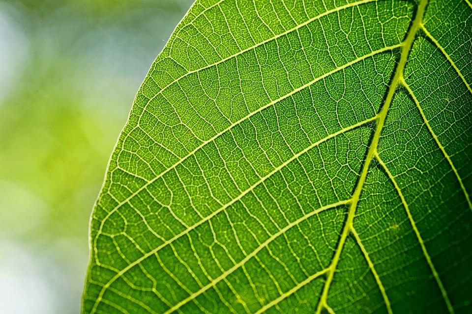 Leaves Leaf Walnut Free Photo On Pixabay
