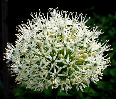 White flowers images pixabay download free pictures allium ornamental onion flowers bud mightylinksfo Image collections