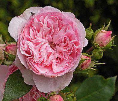 Pink rose images pixabay download free pictures shrub rose blossom bloom pink filled mightylinksfo Choice Image