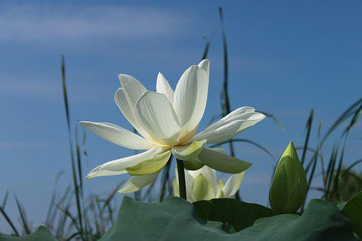 Lotus flower images pixabay download free pictures 1783 free images of lotus flower mightylinksfo Choice Image