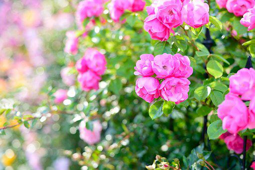 In The Early Summer, Rose, Roses