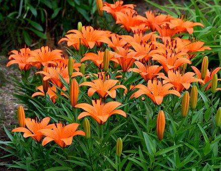 Lili Asian, Bersemangat, Orange, Alam