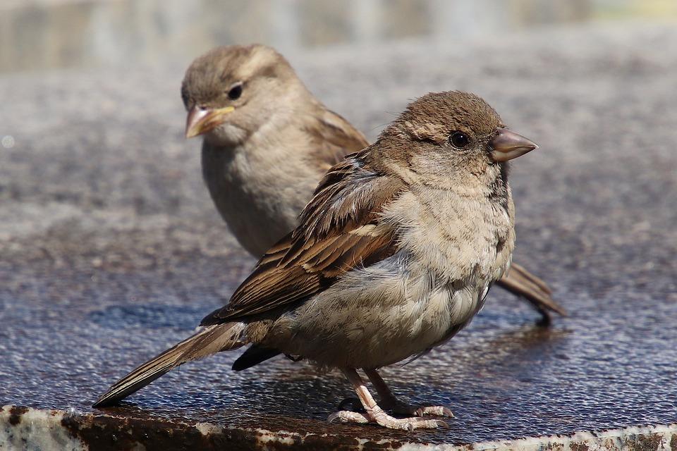 Sparrows, House Sparrow, Sperling, Bird, Animal, Water
