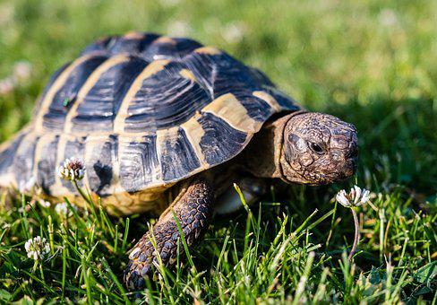 Turtle, Greek Tortoise, Reptile, Animal