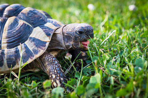 Turtle, Greek Tortoise, Reptile, Animal