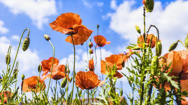 Poppy flower images pixabay download free pictures 3208 free images of poppy flower mightylinksfo Image collections