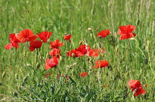 Poppy flower images pixabay download free pictures poppies wildflowers meadow mightylinksfo Images