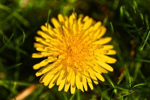 Dandelion, Flower, Plant, Blossom