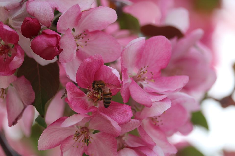 Bee pink flower free photo on pixabay bee pink flower forage garden insect spring mightylinksfo Gallery