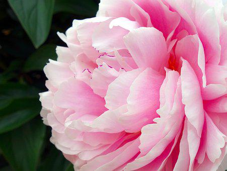 Pink flowers images pixabay download free pictures peony blossom bloom double flower mightylinksfo Gallery