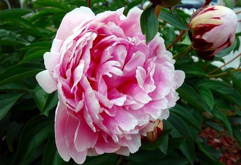 Pivoine, Fleur, Fleur Double, Flora