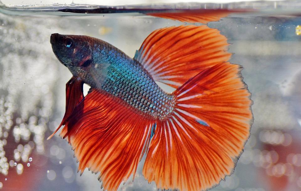 Beta, Warrior, Aquarium, Fish, Veils, Betta, Male