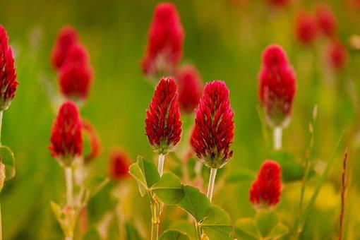Klee, Rose Clover, Trifolium Incarnatum
