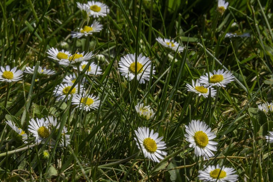 Gras Daisy Makro · Kostenloses Foto auf Pixabay