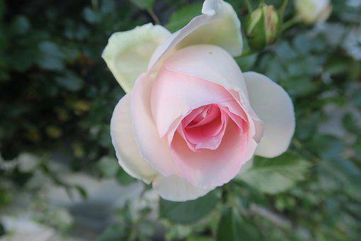 rose flower images · pixabay · download free pictures