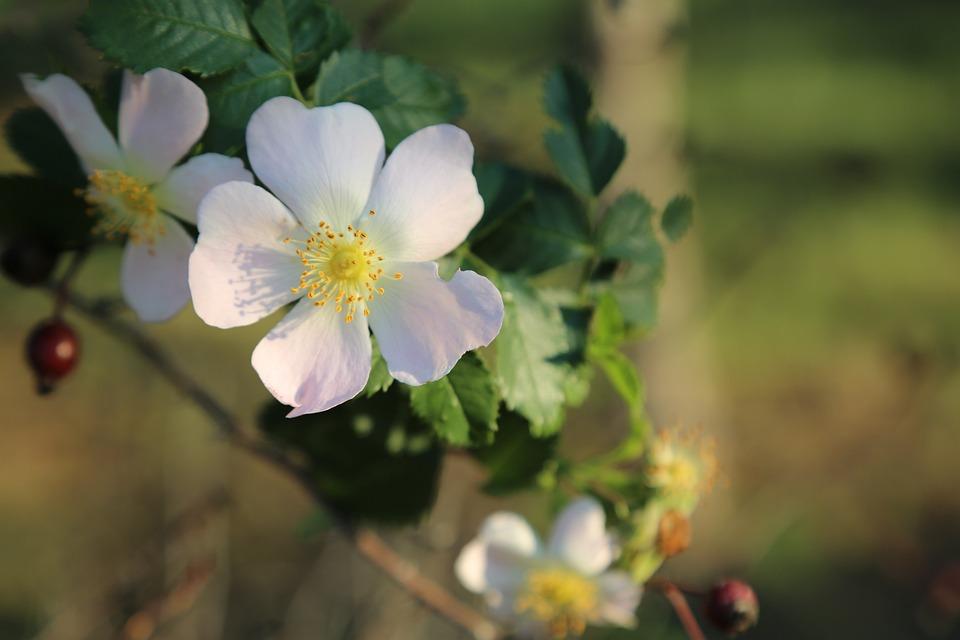 Rose Musquee Fleur Fleurs Photo Gratuite Sur Pixabay