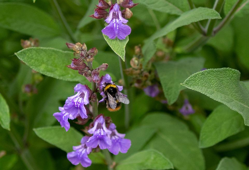 Hummel, Insectes, Fleur, Nature, Jardin, Plantes